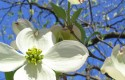 Dogwood Tree
