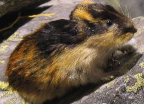 Lemming / Wikimedia Commons