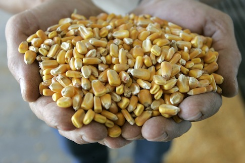 Corn displayed at an ethanol plant before processing / AP