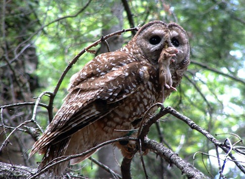 Mexican spotted owl / hawksaloft.org
