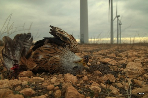 Golden eagle killed by wind turbine / eastcountymagazine.org