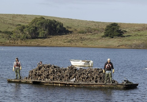 Workers bring in freshly harvested oysters at Drakes Bay Oyster Company / AP