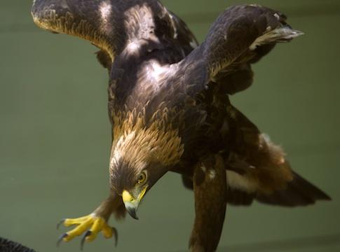 golden eagle wind energy