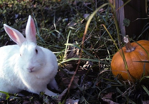 New Zealand White Rabbit / Wikipedia