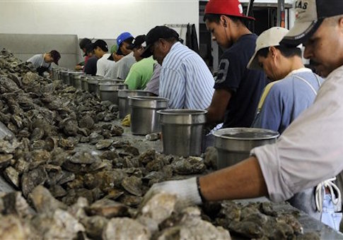 Workers shuck oysters / AP