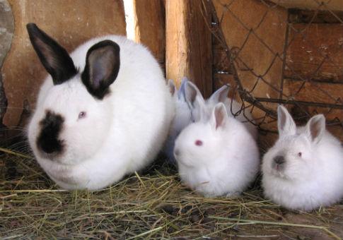 New Zealand white rabbits / Wikimedia Commons