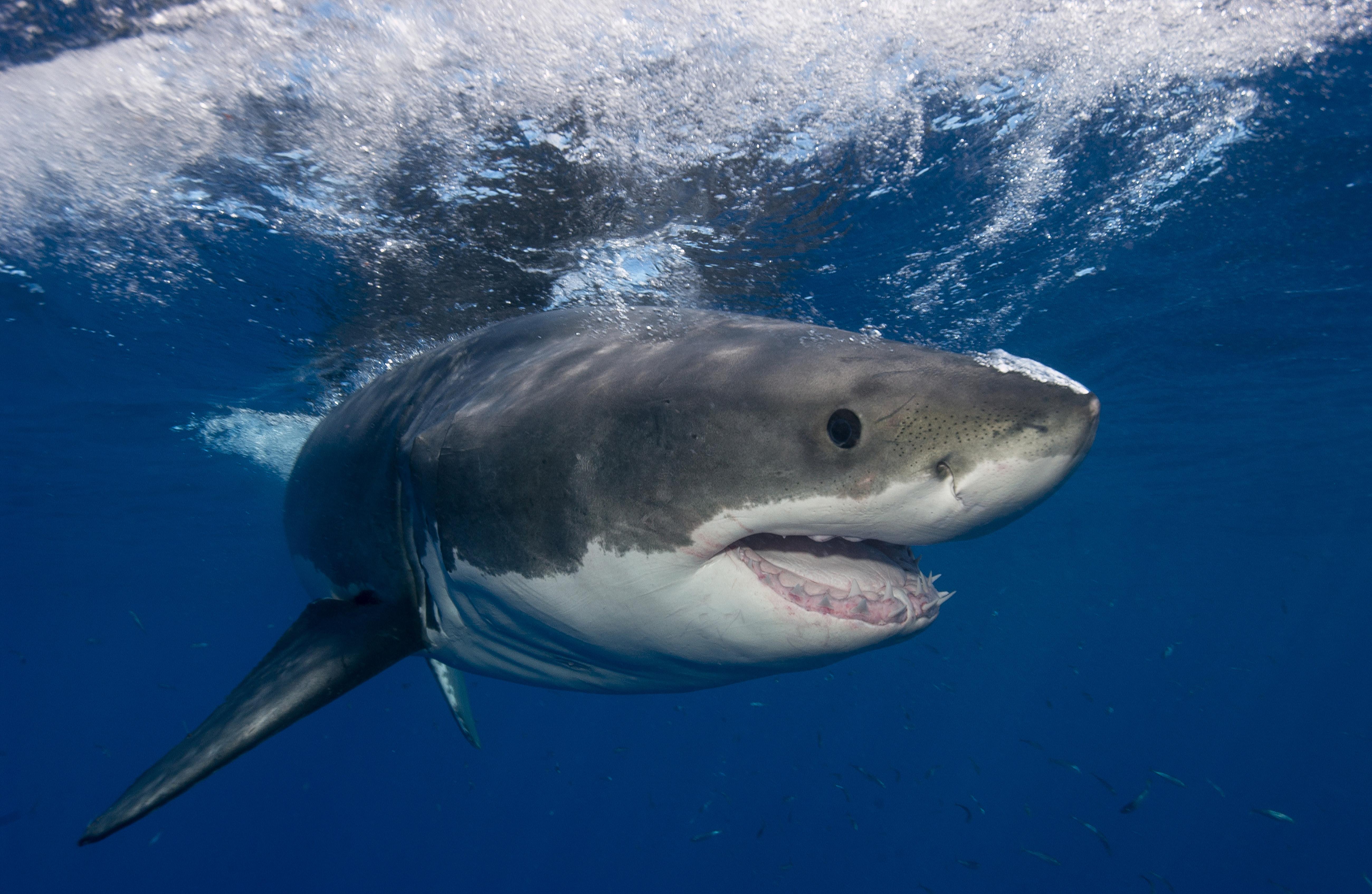 Shark.De