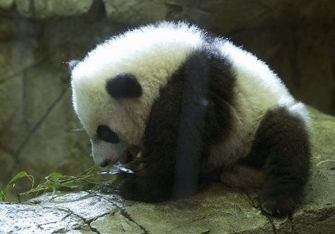 Giant panda cub at the National Zoo / AP