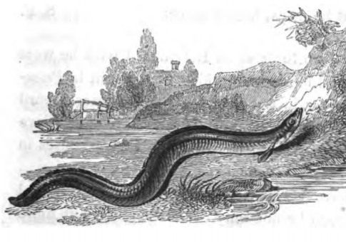 Engraving of an eel from 1824 edition of The Compleat Angler.