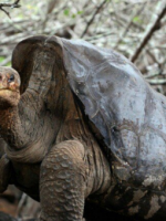 Diego, the 100-plus-year-old Galapagos giant tortoise / Twitter