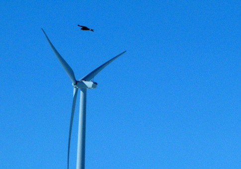Golden eagle wind energy deaths