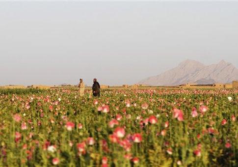 Afghan farmers harvest raw opium at a poppy field in Kandaharís Zhari district, Afghanistan
