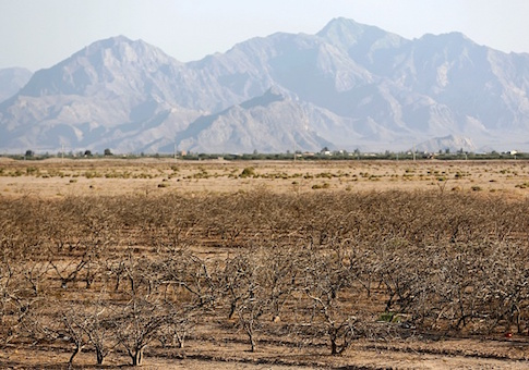 Pistachio trees at a field that farmers left behind due to the lack of water