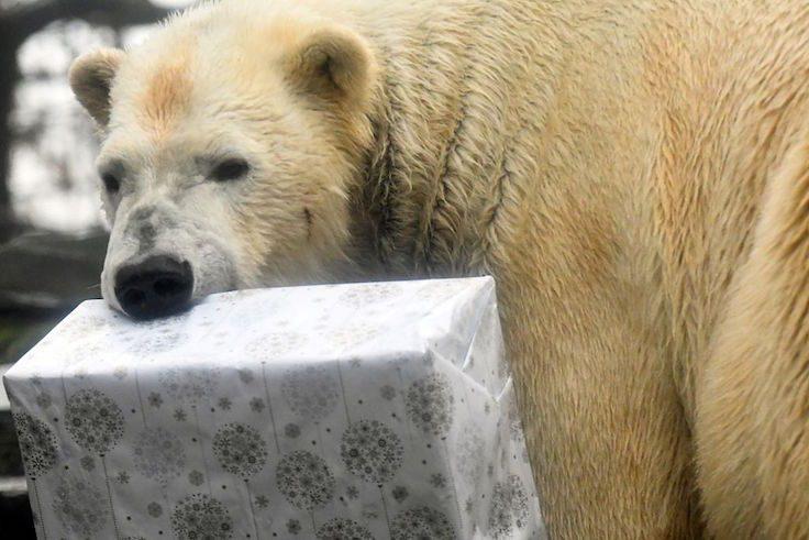 polar bear christmas present