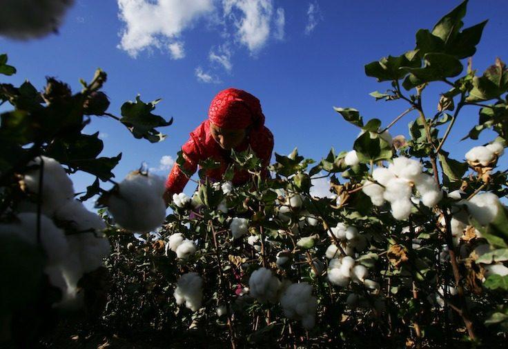 An Uigur woman picks cotton in a field